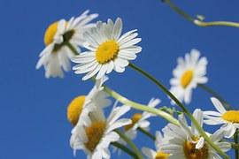 fleurs paquerettes